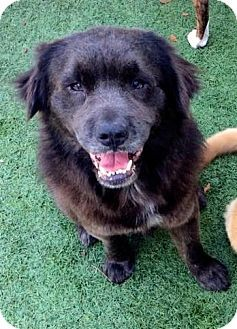 Pictures Of Left To Die A Chow Chow Golden Retriever Mix For