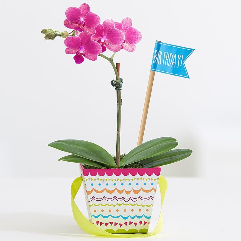 What is more adorable than a mini orchid? This bloom is a