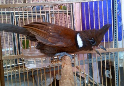 Suara Cililin Setiap Penghobi Di Tanah Air Pasti Sudah Tidak Asing Lagi Dengan Burung Mungil Yang Satu Ini Cililin Adalah Salah Satu Buru Di 2020 Burung Suara Gagak