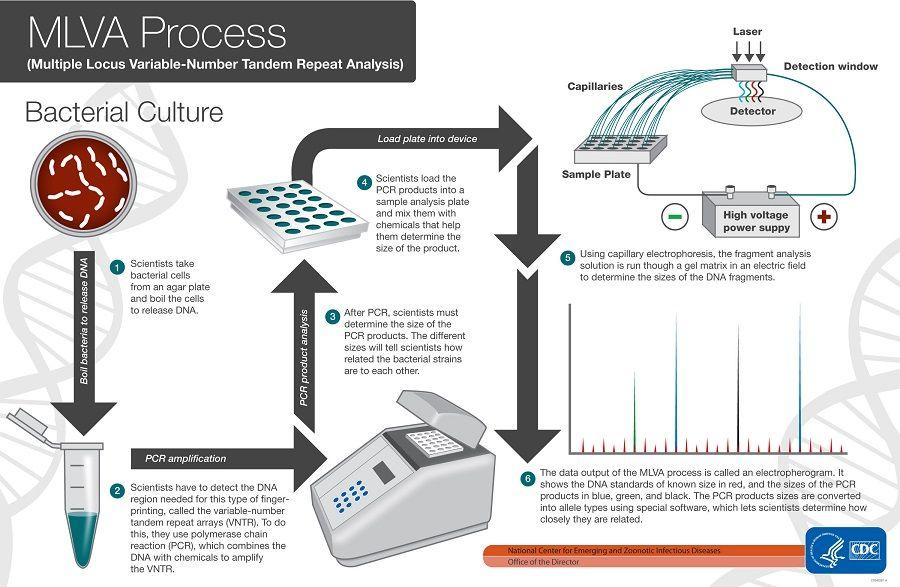 Mlva Work Flow Specimen Culture Growth Dna Template Pcr Set Up
