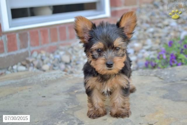 Cash Yorkshire Terrier Puppy For Sale In Sugarcreek Oh