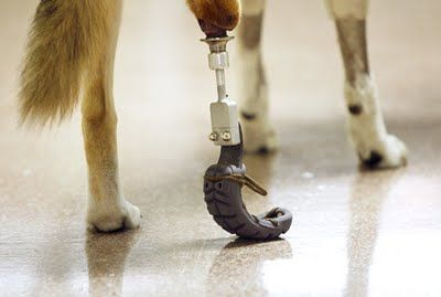 Sentient Developments Dog Gets Osseointegrated Prosthetic Dogs Prosthetics Inventions