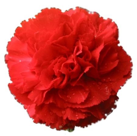 Red Carnations Carnations Wholesale Carnations Bulk Carnations Buy Carnations Carnations Bouquet At Bu Red Carnation Spanish Flowers Carnation Flower