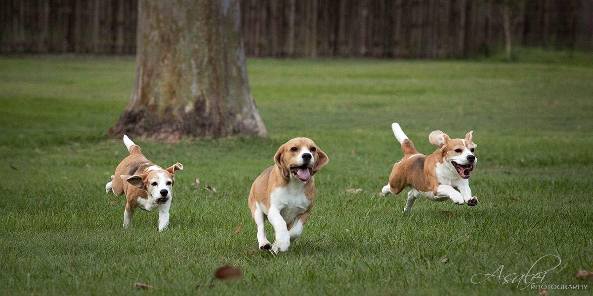 Running Beagle Google Search Image Corgi