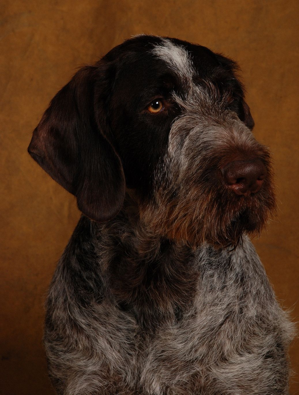 Photo Competition German Wirehaired Pointer Club Bird