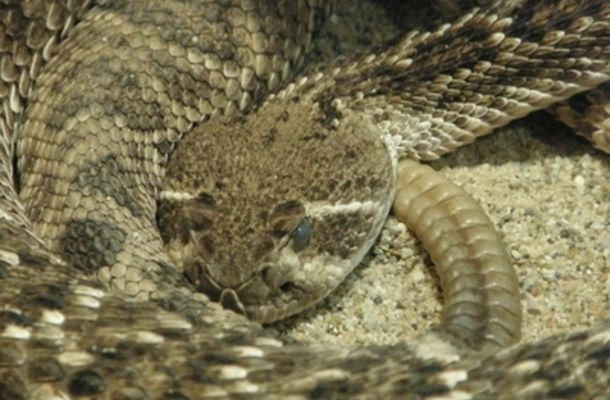 A properly installed barrier can prevent rattlesnakes from ...