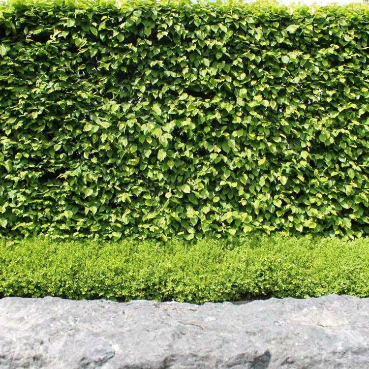 Pflanzen Als Sichtschutz Zum Nachbarn