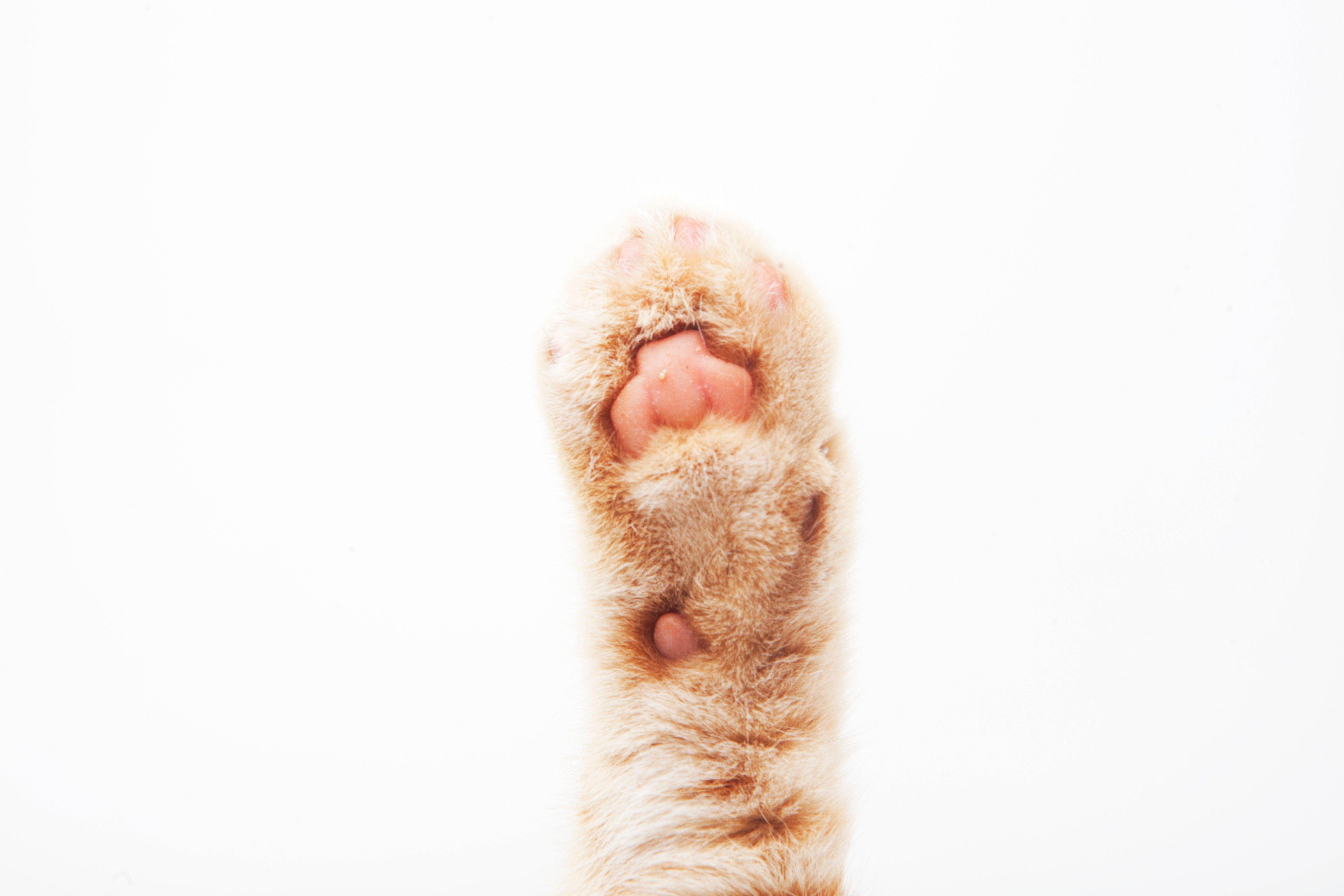 Cat forefoot cat pad cute paw フリー 写真 素材、無料 写真、フリー 写真