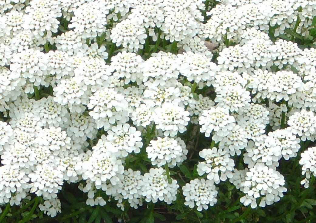 100 types of the most beautiful white flowers for your garden best types of the most beautiful white flowers for your garden mightylinksfo