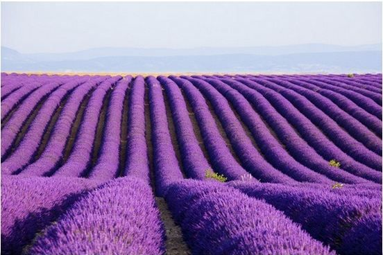 """Lavender Field In Bloom"" canvas print by Frank Lukasseck via @greatbigcanvas available at GreatBIGCanvas.com."