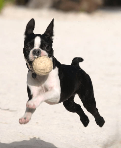 The History Of The Boston Terrier The American Gentleman