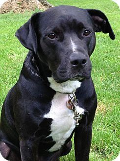 Bulldog Lab Mix Black American Bulldog Lab Mix Peace Love Dogs
