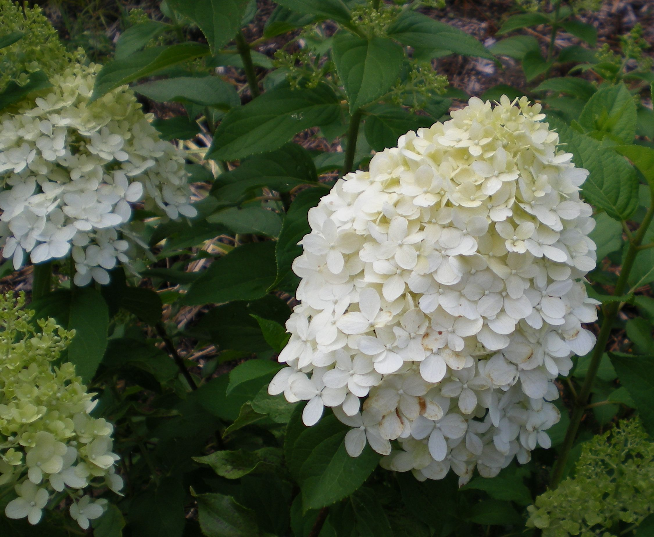 Limelight hydrangea flowers pinterest for Limelight hydrangea