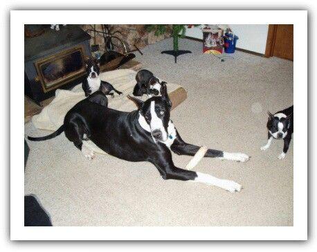 Great Dane And Boston Terrier Boston Terrier Great Dane Terrier