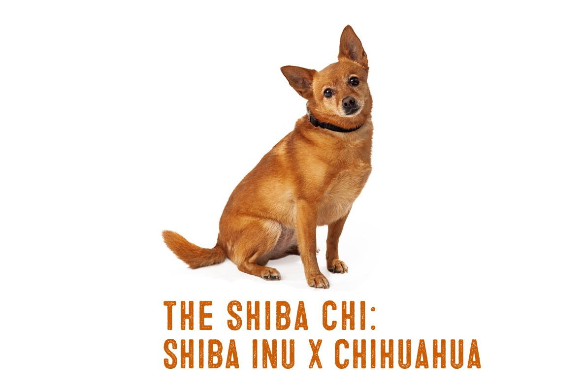 Shiba Inu Chihuahua Mix Information And Facts Shiba Inu