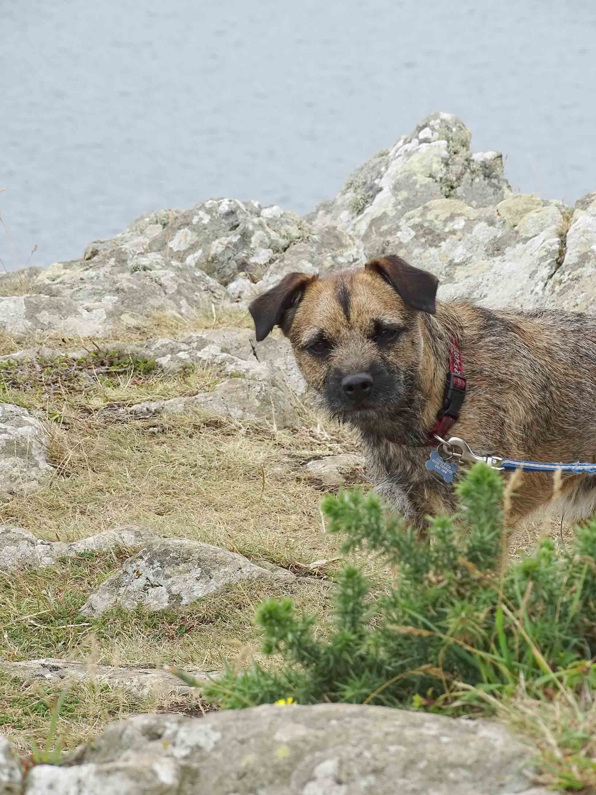 Budleigh Border Terrier At Nare Head Cornwall Border Terrier
