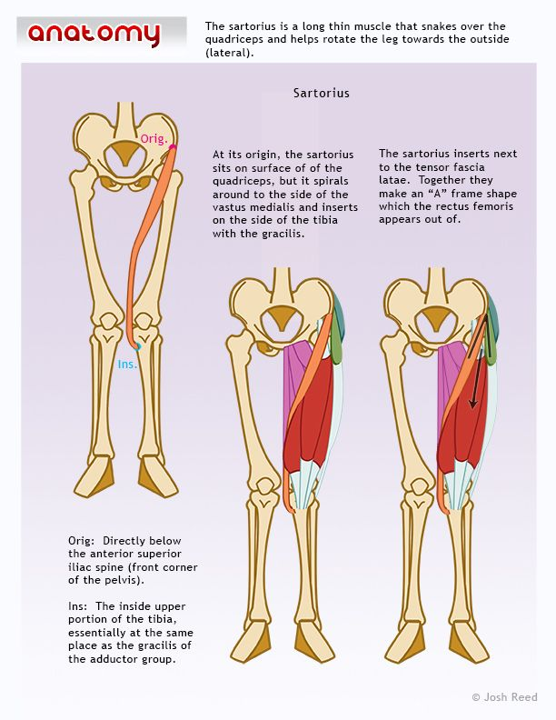 Muscles Of The Upper Leg Sartorius Muscle Art Ref Pinterest