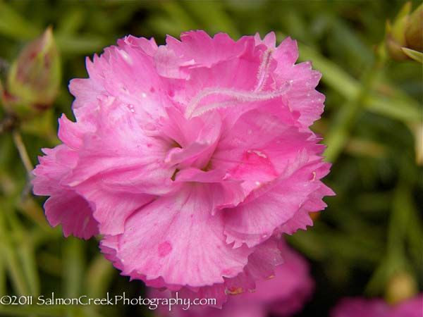 Dianthus Oakington At Digging Dog Mail Order Nursery Trimmed With Fringed Rosy Mauve Petals Quantities Of Open Faced Semidouble Petals Digging Dogs Flowers