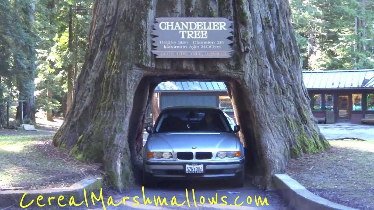 Drive thru tree chandelier tree world famous redwood forest drive thru tree chandelier tree world famous redwood forest california n arubaitofo Gallery
