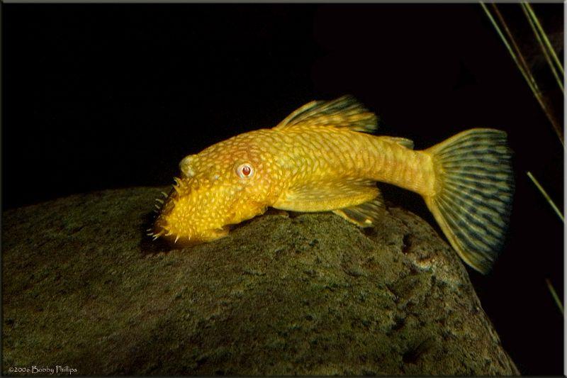 Best Algae Eater Fish Pet Small Tank Eater