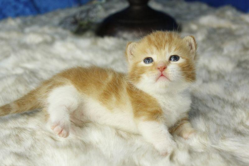 Angelo Orange Bicolor Tabby Munchkin Cat Kitten From Www Ragdollkitten Us Munchkin Kitten Munchkin Cat Cats