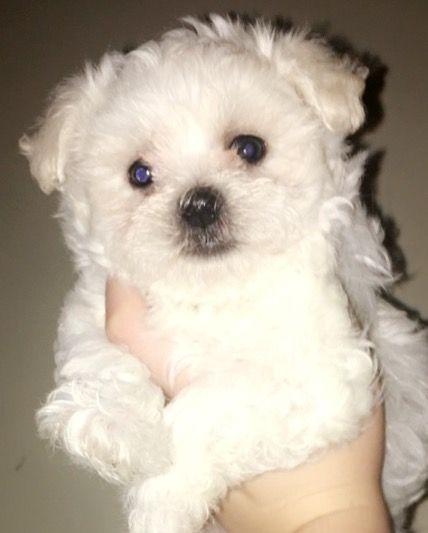 Maltese Puppy For Sale In Lexington Ky Adn 38075 On Puppyfinder