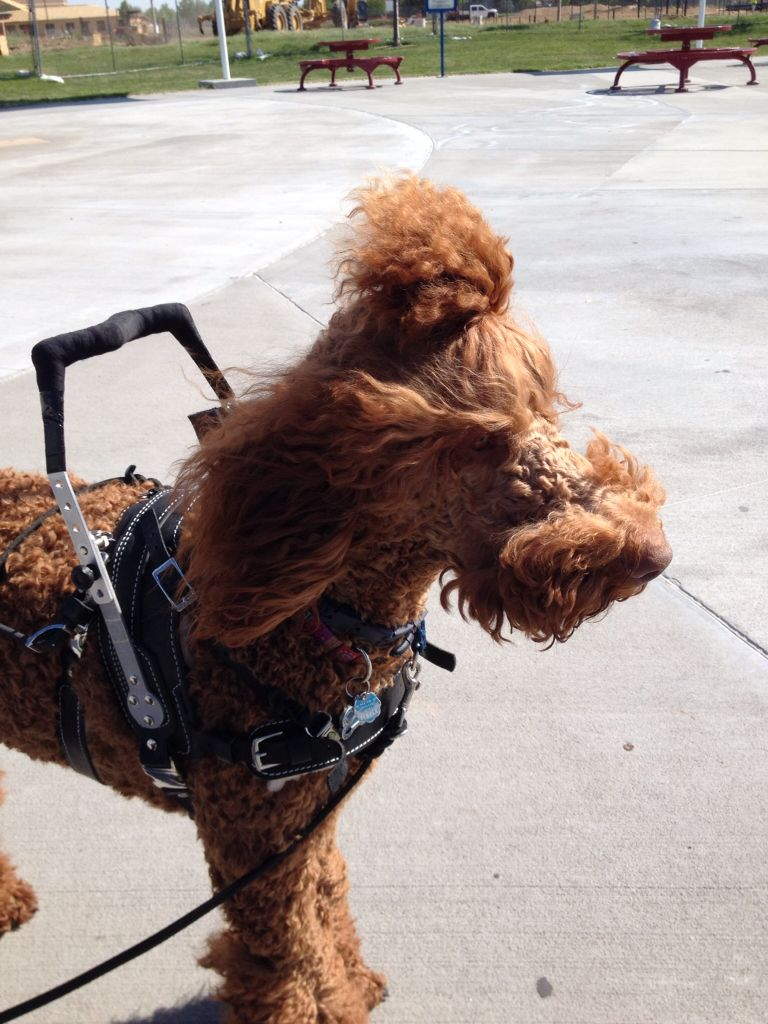 Red Standard Poodle on duty as a mobility service dog