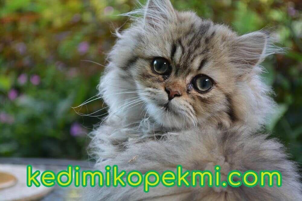 Pin By Kedi Mi Kopek Mi On Cat And Dog Teacup Persian Cats Cat Furry Persian Cat