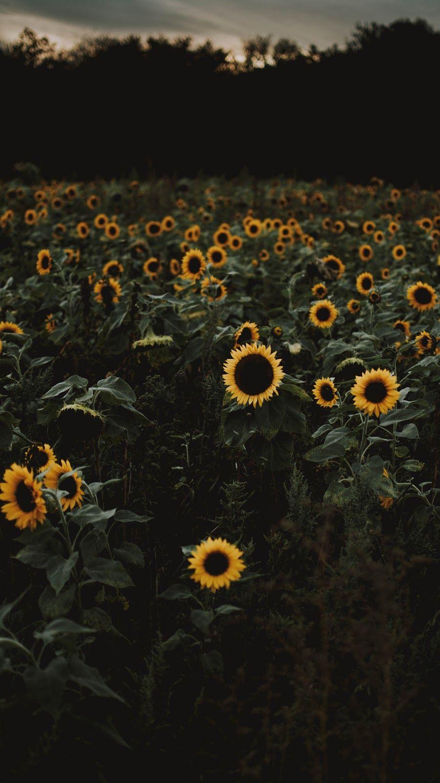 Sunflowers | Sunflower wallpaper, Sunflower iphone ...