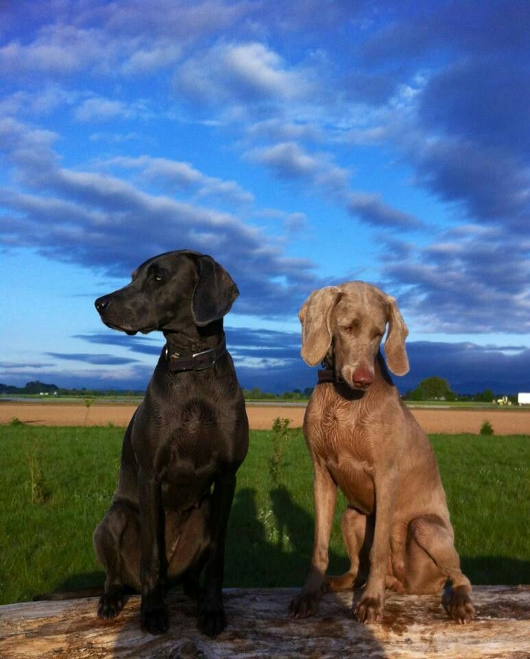 Weimaraner grey ghost & a blue. Most amazing dogs. Once you have one you'll want more. Everyday I miss my Lady.