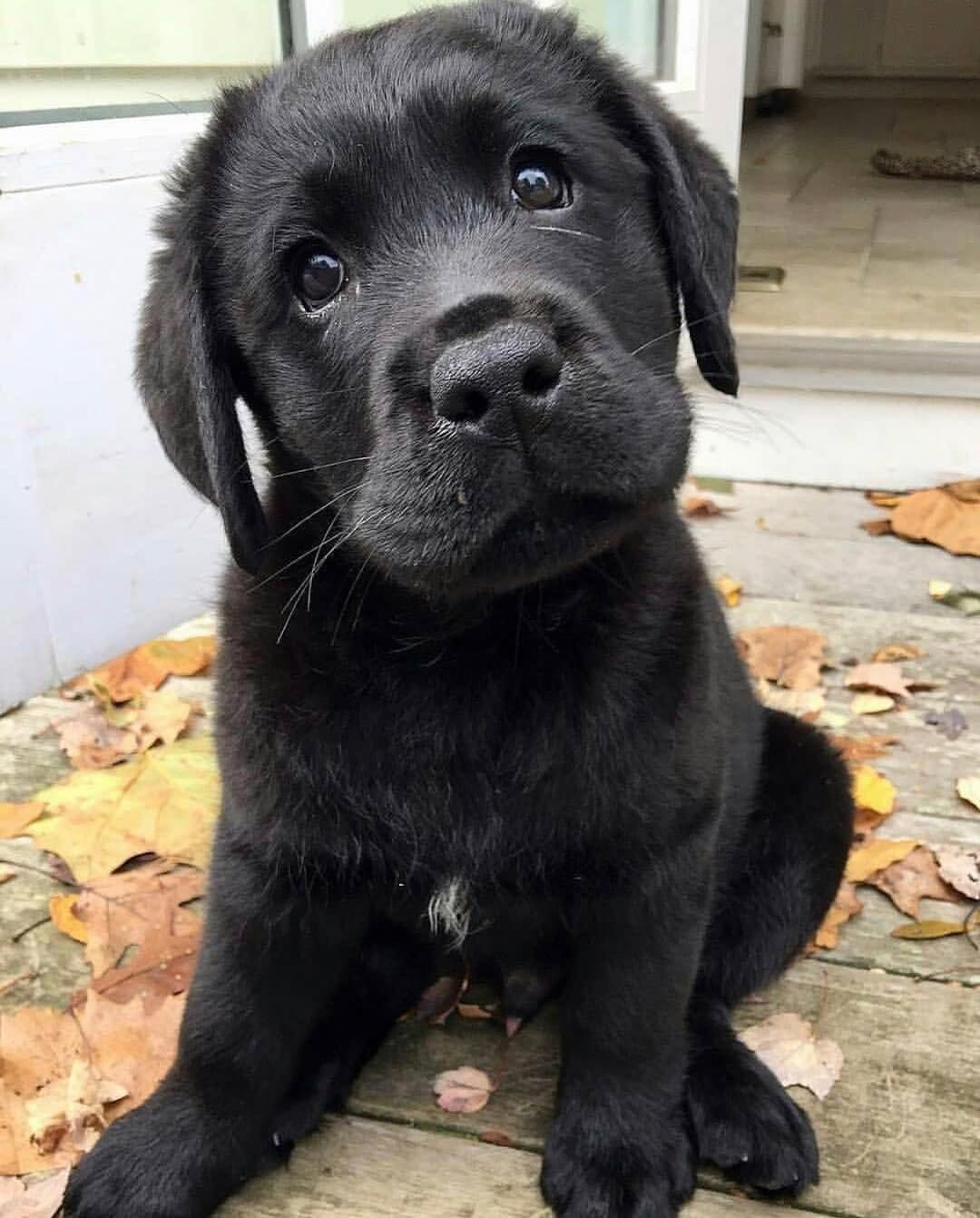 Black Puppies Are The Most Beautiful Dogs In The World Lab