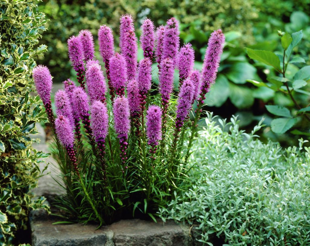 Blazing Star Qt Tall Purple Flowers Plants Flowers Perennials