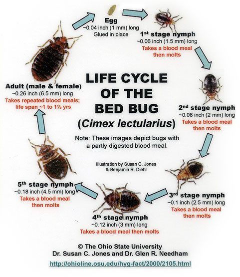 The Seven Stages Female bed bugs can lay anywhere from one to