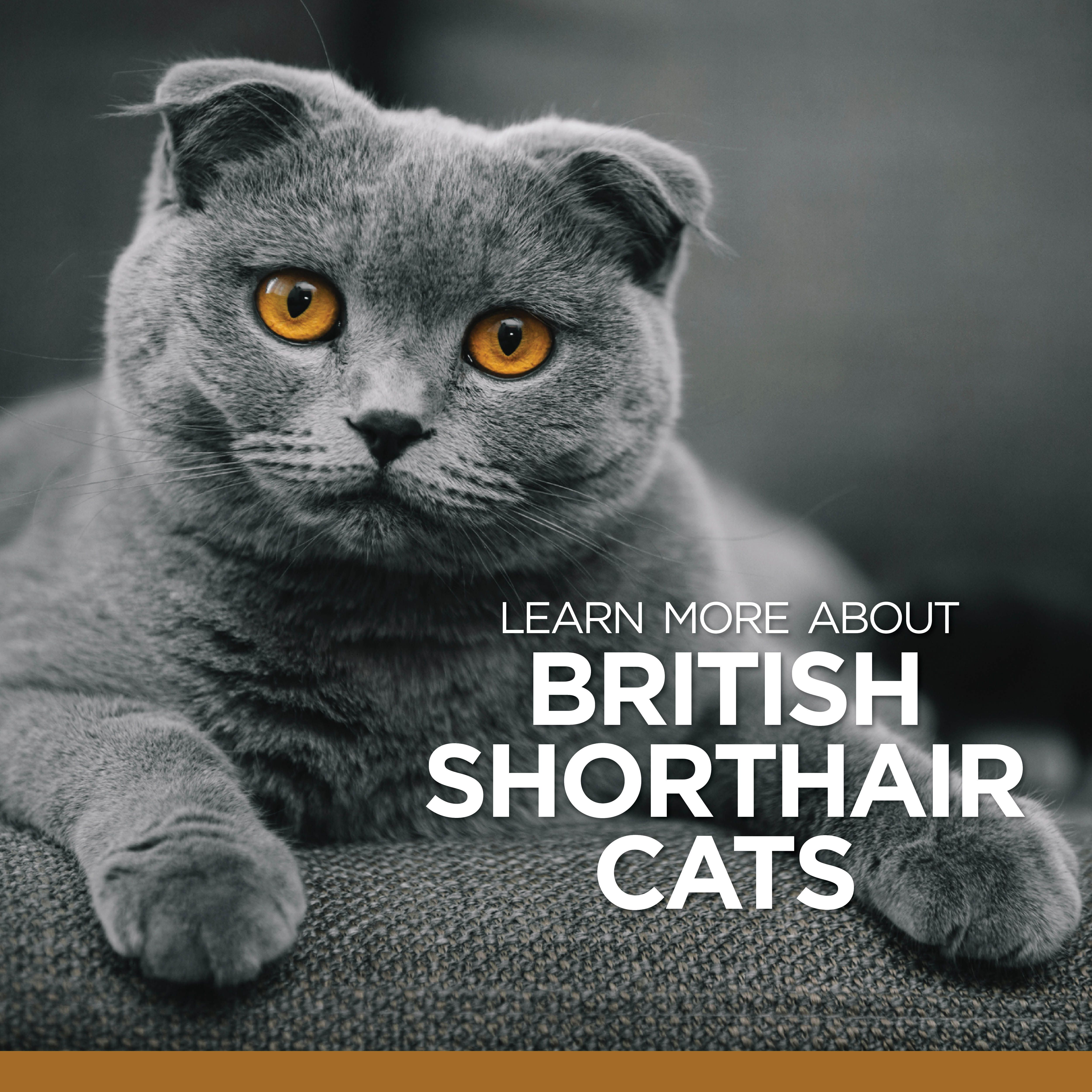 British Shorthair Cats Are Known To Be Independent Often Choosing To Sit Near Their Owners Ra British Shorthair Cats British Shorthair Most Popular Cat Breeds