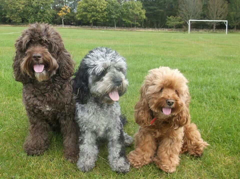 Different Size Cockapoos Cute Dog Mixes Cute Dogs Cute Dogs Breeds