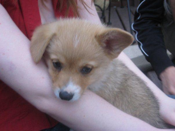 Baby Max The Corgi Corgi Puppies Pembroke Welsh Corgi