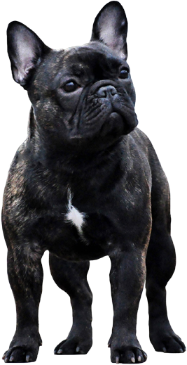 View And Download Hd Welcome To Black French Bulldog Png Png Image For Free The Image Resolution Is 457x524 And In 2021 Black French Bulldogs French Bulldog Bulldog
