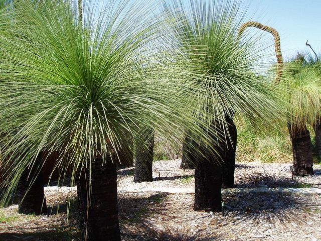 grass trees with native grasses