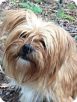 Spring Valley Ny Yorkie Yorkshire Terrier Pekingese Mix Meet Munchie A Dog For Adoption Yorkshire Terrier Yorkie Yorkie Yorkshire Terrier