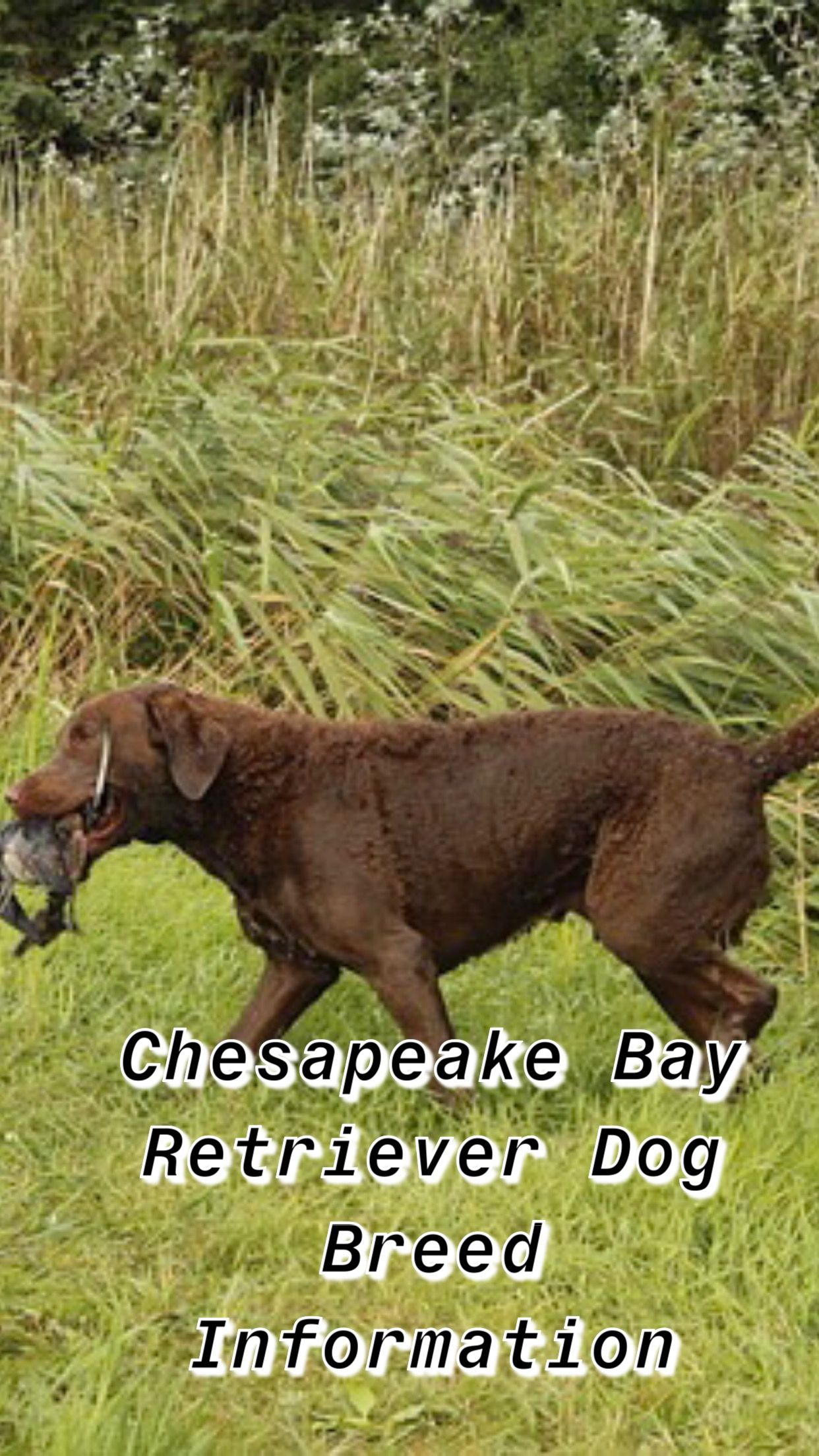 Chesapeake Retriever Chesapeake Bay Retriever Puppy Cheasapeake