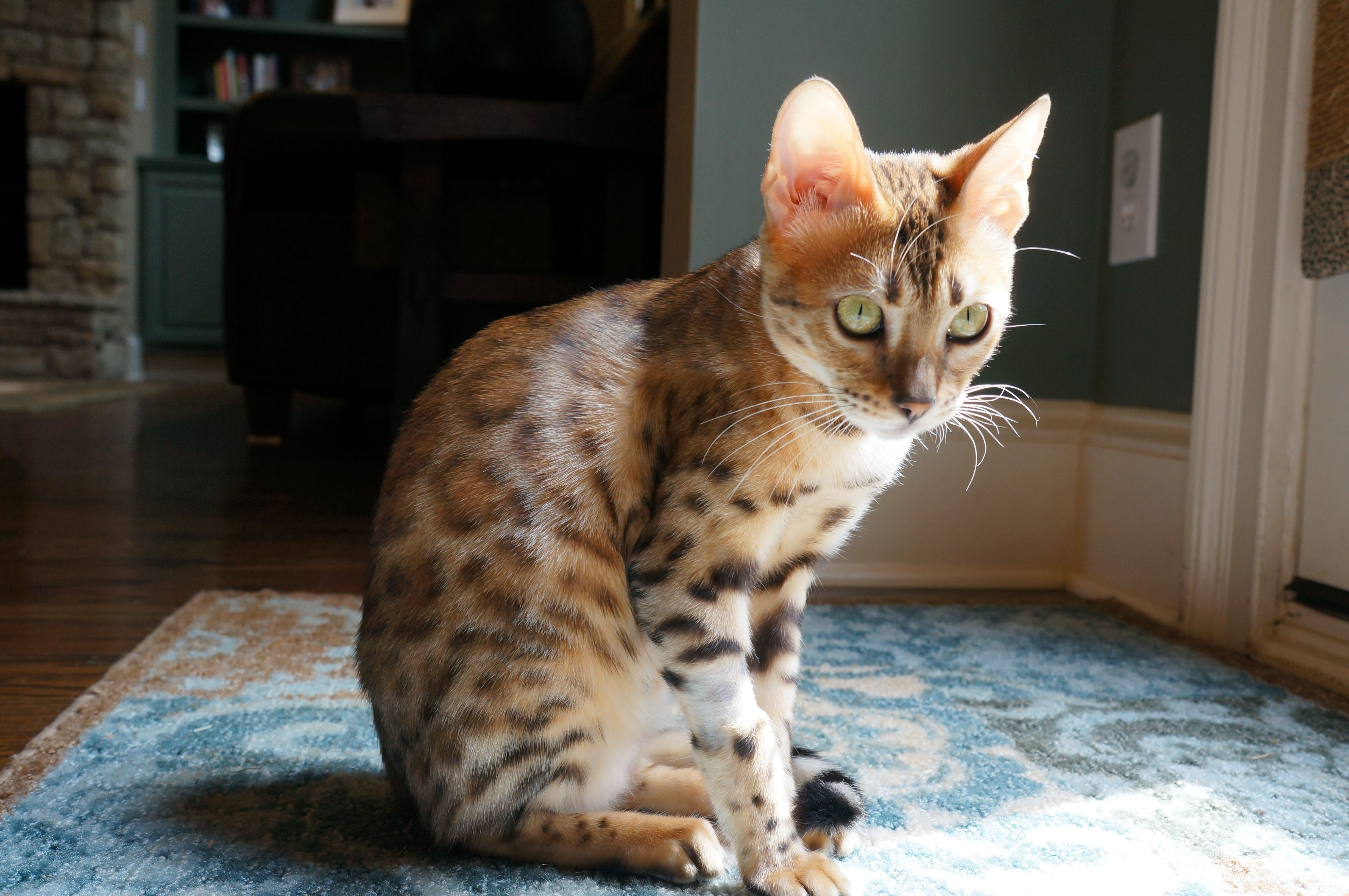 Chloe 7 Month Old Bengal Bengal Kitten Kittens 7 Month Olds