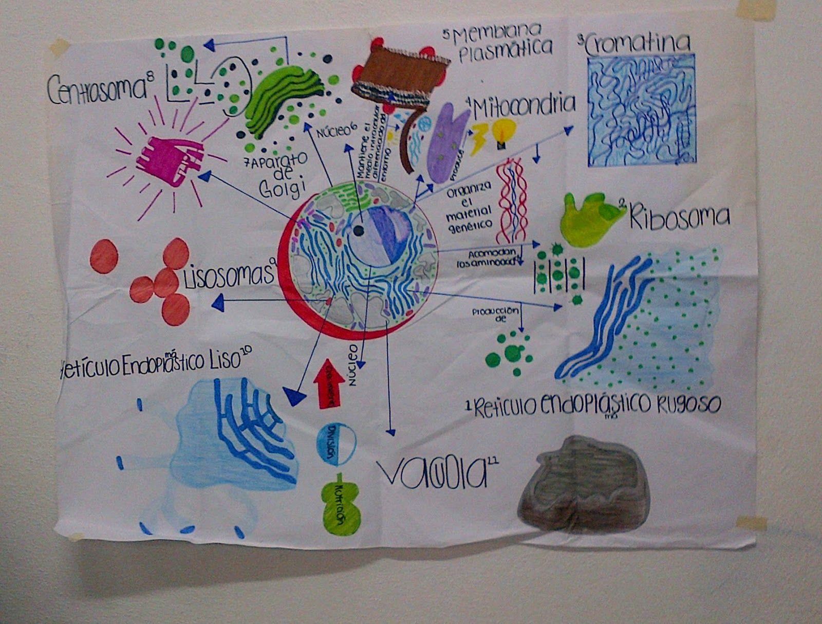 Mapa Mental De Los Organelos Celulares Mapas Mentales