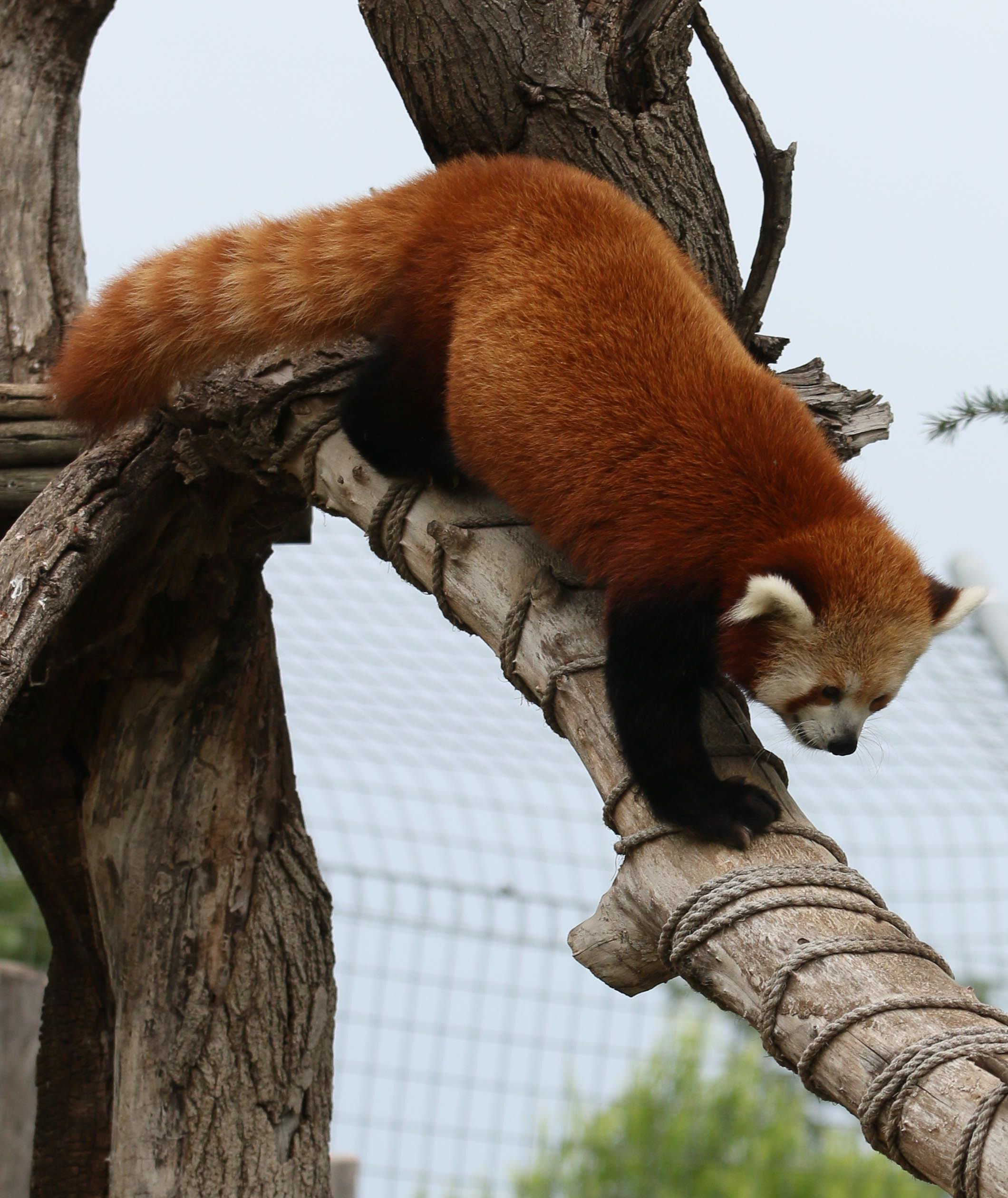 Did You Know...All Pandas climb down trees head first. The Red Panda ...