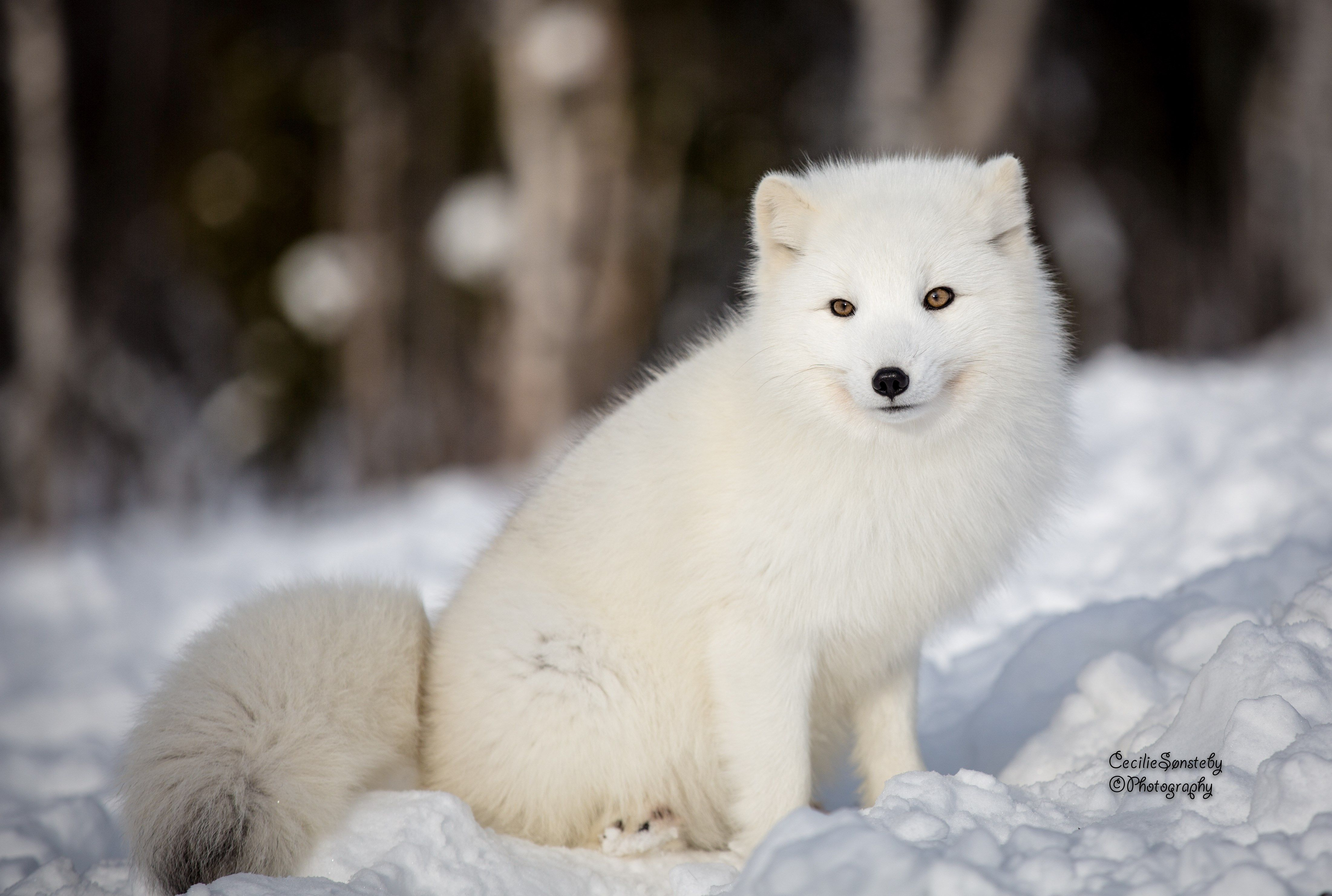 4k arctic fox hd wallpaper (4403x2961)