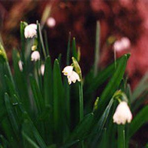 Summer Snowflake Flower Essences Flowers Essence