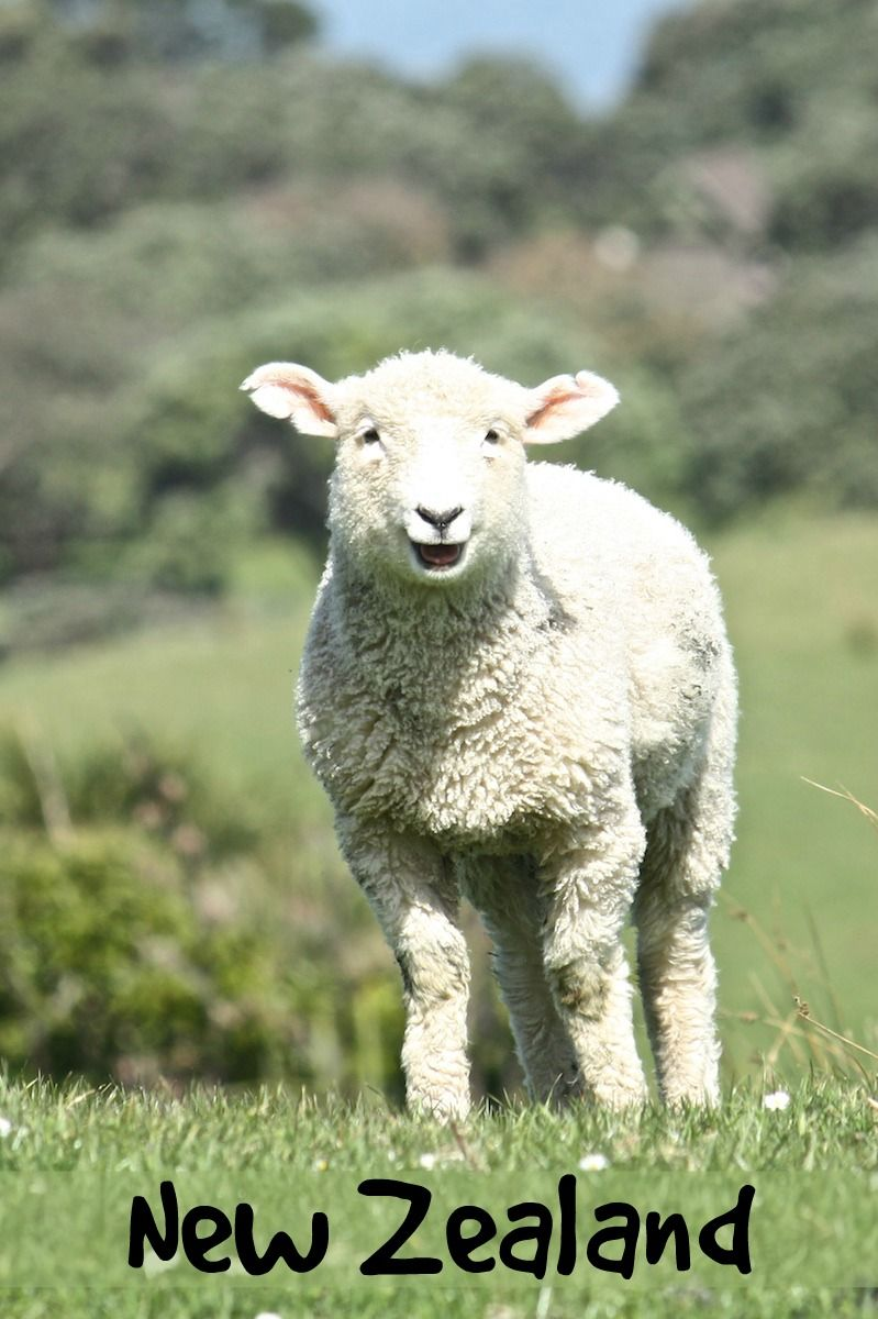 Adorable baby lambs dot the New Zealand hillsides in springtime. This shot from Shakespear Park, Auckland, New Zealand