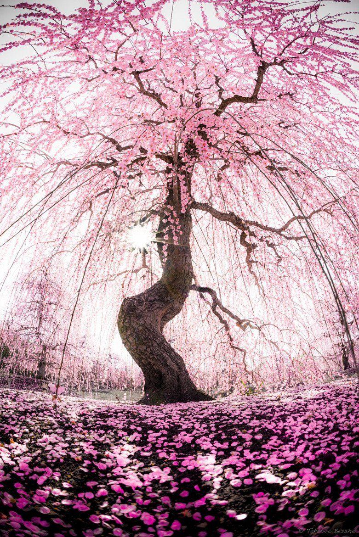 Y Byakuya On Twitter Beautiful Tree Blossom Trees Nature Photography