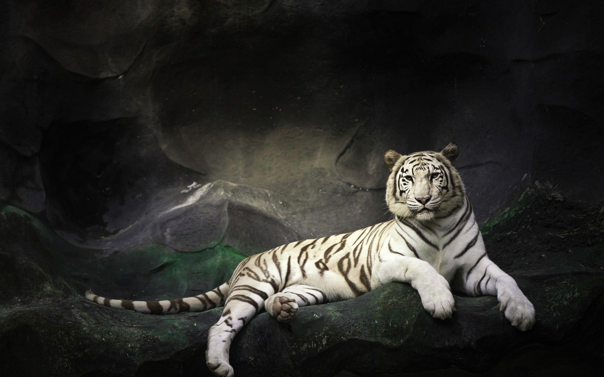 3d tiger top hd new cool for desktop background Tiger