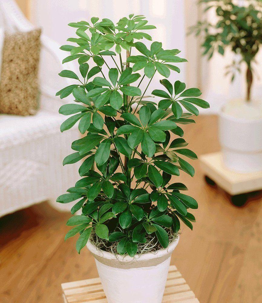 Baldur garten schefflera strahlenaralie 1 pflanze amazon - Zimmerpflanzen schatten ...