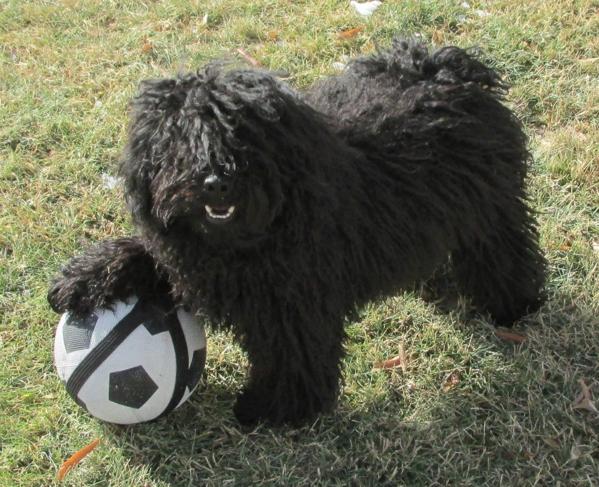 16 Things Only A Puli Owner Would Understand Puli Dog Puli Dog